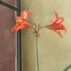 Flower still life, amaryllis