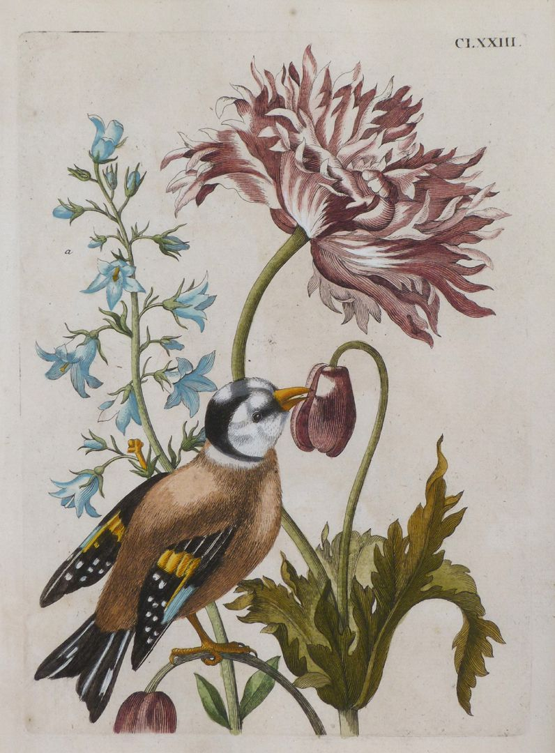 Magsamen-flower= blue meadow poppy / and a / or European goldfinch