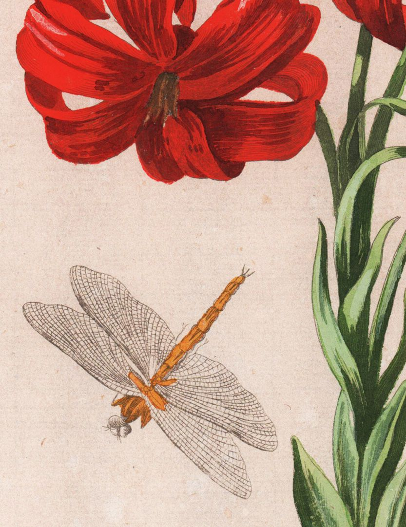 Martagon lily Detail with dragon-fly