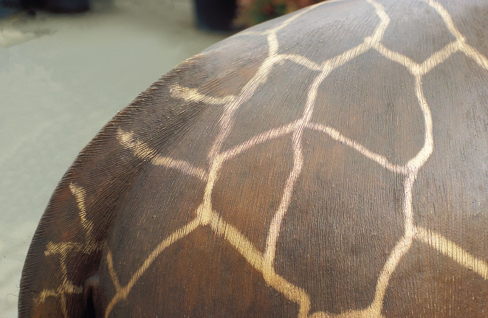 Reticulated giraffe Back and tail, detail