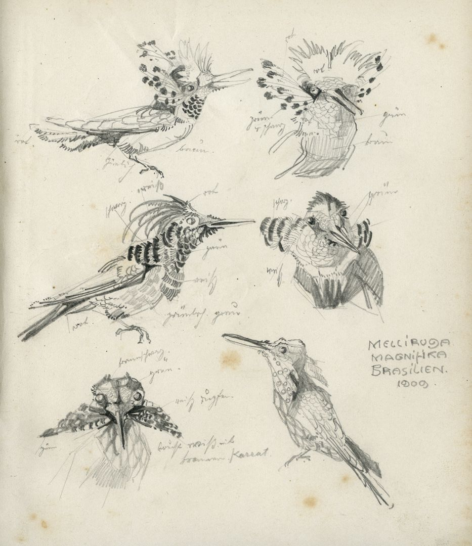 Sketch books Pencil sketch of a fairy (hummingbird species) with colour details, 1909