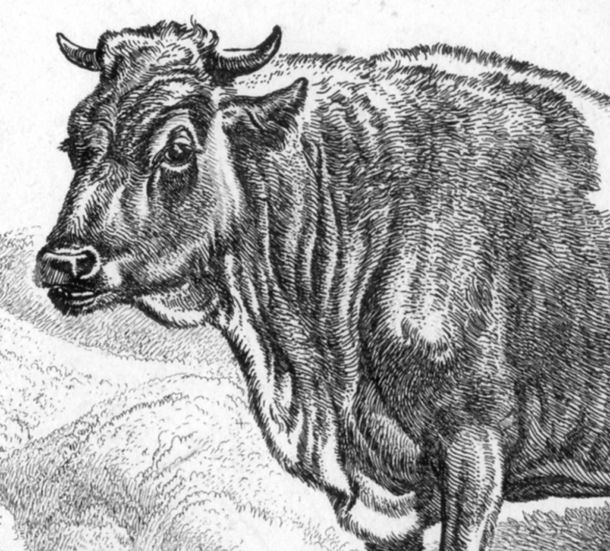 Cattle near ruins Detail
